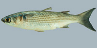Fish/83-Stripped-Mullet.jpg